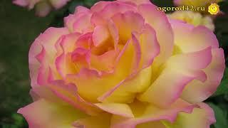 видео Роза почвопокровная: сорта, фото, как выбрать сорт