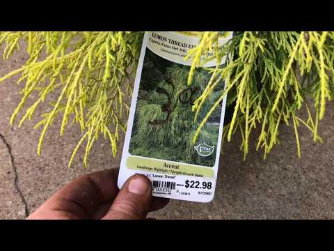Lemon Thread False Cypress & Information