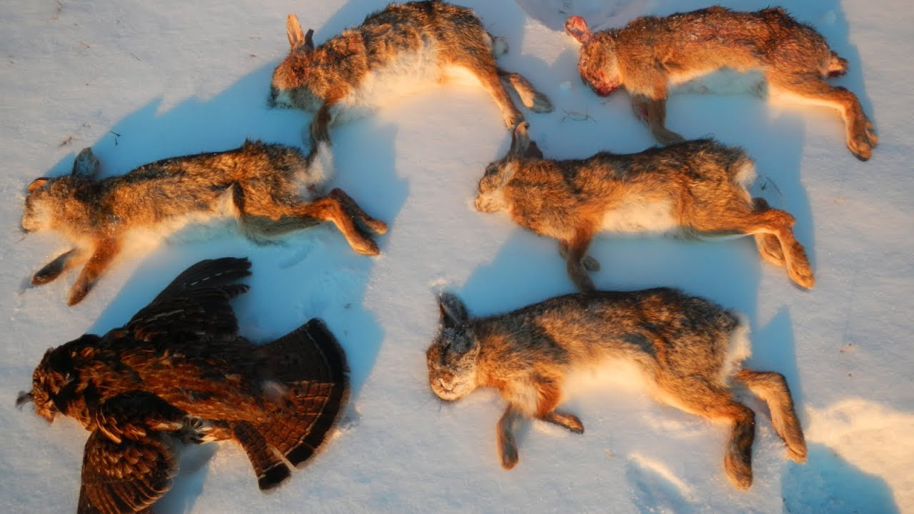 Small Game Hunting #19: 5 Cottontail Rabbits and 1 Ruffed ...
