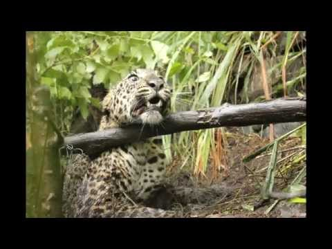 WILD LEOPARD TRAP IN THE FOREST AT KERALA KONNI