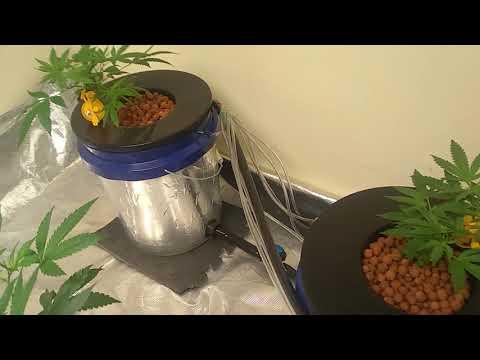 hydroponic rdwc bucket system - cinemapichollu
