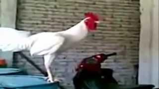 El gallo que canta y se rie