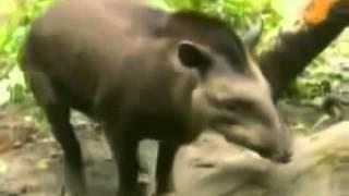 Животный трах