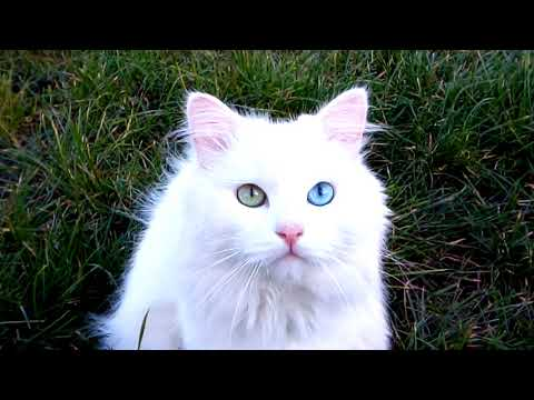 Мой любимец кот Пушок,Армянский ван