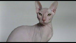 """Кошки """"Сфинксы"""". Вопросы по приобретению. (видео по запросу)"""