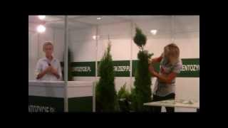 Tuja Szmaragd, cięcie i formowanie roślin