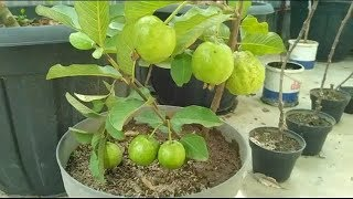 Guava tree air layering propagation with cocopeat and soil
