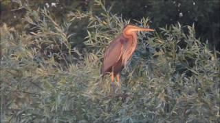 Video Héron pourpré (Ardea purpurea) au Lac du Der (Juin 2016) download MP3, 3GP, MP4, WEBM, AVI, FLV November 2018