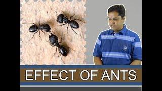 घर में चीटियों का आना ||ants in home||लाल चींटी का घर मे आना क्या देगा प्रभाव?