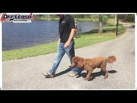 "1 Year Old Standard Poodle ""Ruby"" Before/After Video 