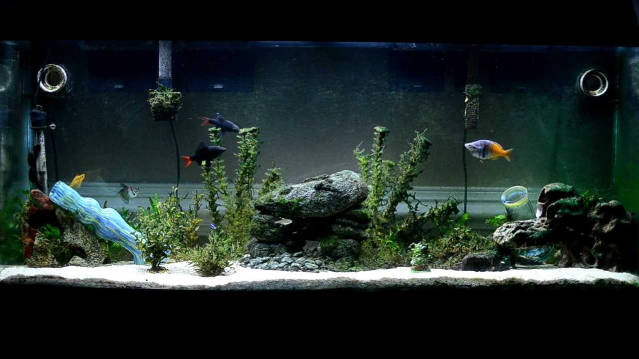 Freshwater aquarium fish rainbow shark -  Hd Extended 55g Freshwater Rainbow Fish Aquarium Boesemani Rainbow Red Tailed Black Sharks