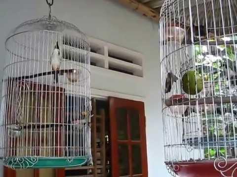 Chào mào Hoài Sơn - Bình Định giọng chuẩn, chét liên tục, chớp cánh như điện.