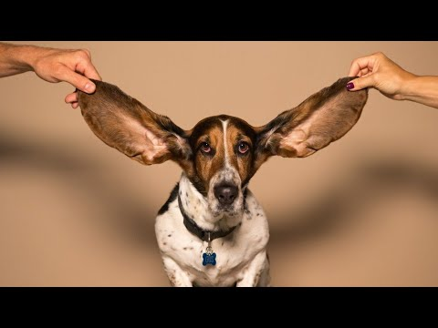 Amazing Points on Basset Hound  | In Hindi | Dog Facts | Dog Section | Animal Channel Hindi