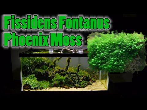 How To Grow Aquarium Moss & Liverwort: Fissidens: Phoenix Moss part 2
