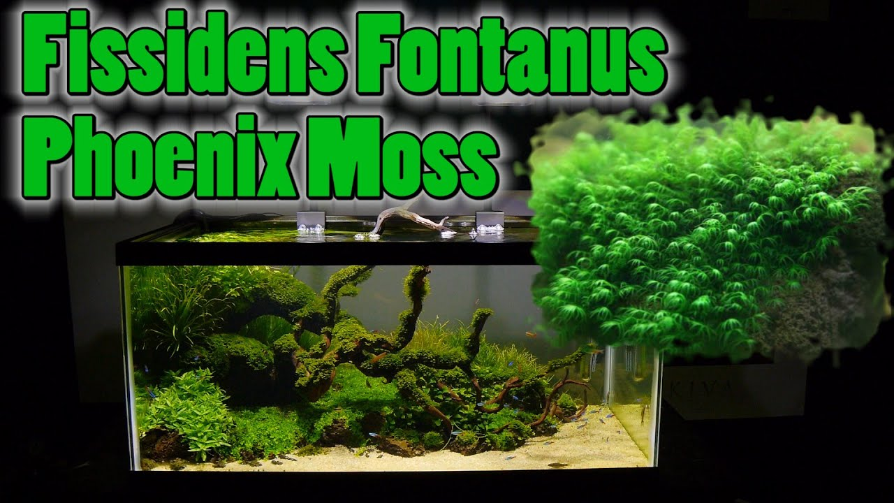 Moss Phoenix: features of plants for aquaspace 91