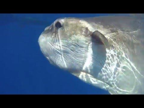 poisson lune ( Mole ) a Bejaia Algérie algeria