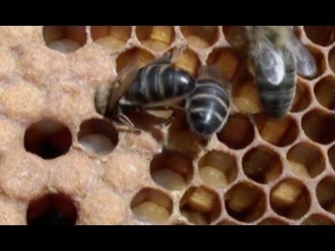 Las abejas . Lo que hay que saber sobre las abejas y la miel - YouTube
