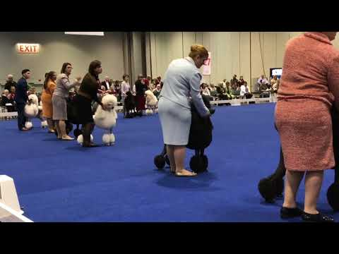 2017 AKC National Championship Winners Standard Poodles