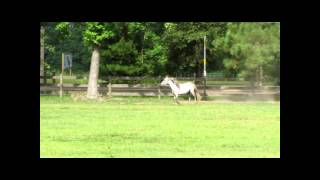 Family Of Miniature Horses Galloping:)