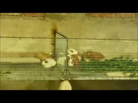 Construcci n de jaulas de cuyes youtube for Construccion de jaulas flotantes para tilapia