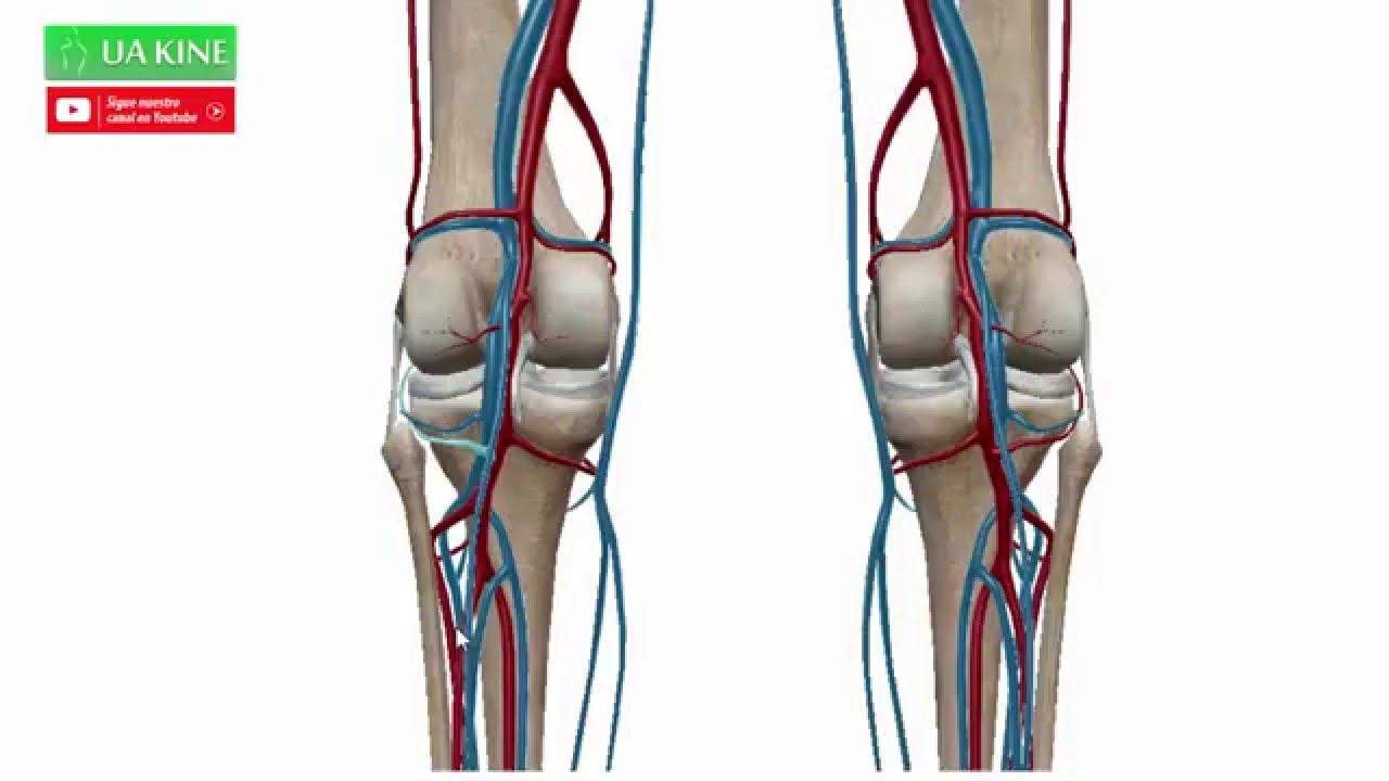 Anatomía Irrigación de la rodilla - YouTube