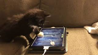 Cat plays Ipad game