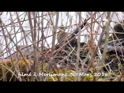 chant de la Gorgebleue à miroir (Luscinia svecica) Bluethroat