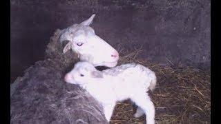 Овца, коза, корова не встаёт на ноги и не ест? Диагноз.