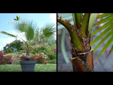 Comment planter un palmier washingtonia robusta jar for Comment planter un palmier en pot