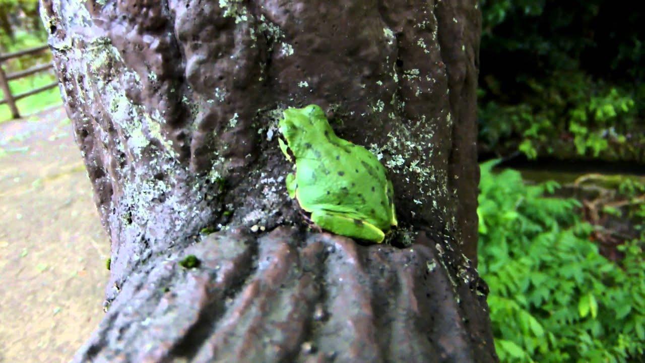 фото зелёная лягушка