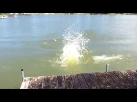 Naughty 2yr old German Shorthaired Pointer's first day dock jumping