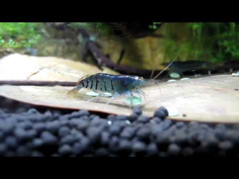 Blue Tiger Shrimp close up (HD). Young and old & pregnant