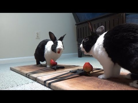 Rabbit eating juicy strawberry in mirror ASMR