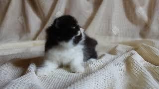 Персидский черно-белый котенок