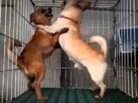 give-girl-sex-with-chihuahua