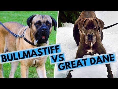 Bullmastiff vs Great Dane Difference