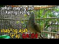 Suara Burung Pikat Mabung Ajah Tetap Gacor  Mp3 - Mp4 Download