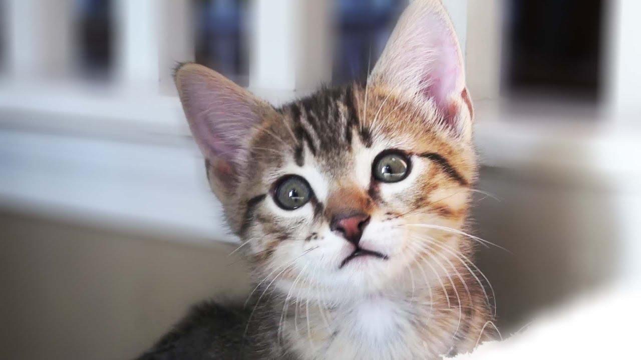 Egyptian Mau Kittens Playing The Chirpy Cats Nala s Litter