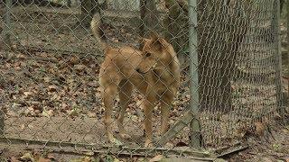 Tin Tức 24h Mới Nhất: Bảo tồn giống chó xoáy Phú Quốc