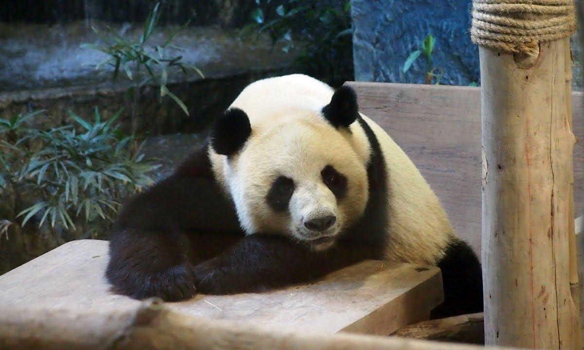 หมีแพนด้าช่วงช่วง สวนสัตว์เชียงใหม่ Giant Panda At