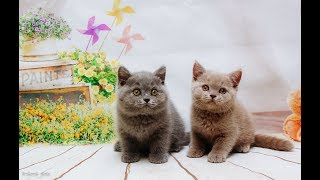 Британские котята играют, возраст 1 месяц