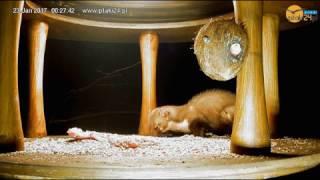 Kuna i słoninka w karmniku dla ptaków nad Soliną :)