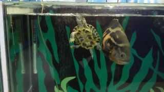 Черепаха в аквариуме с цихлидами