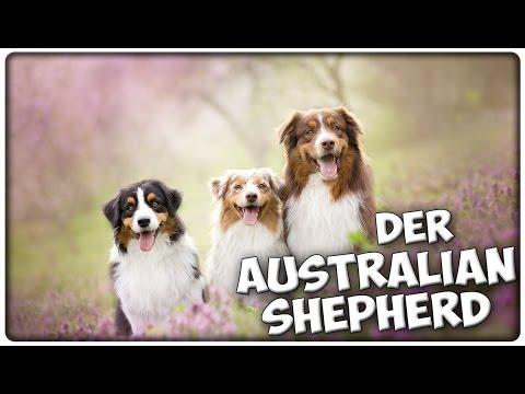 Der AUSTRALIAN SHEPHERD im Rasseportrait #5 JulisTierwelt / AUSSIE