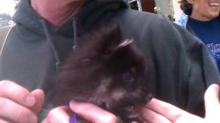 Husky Pom Puppy