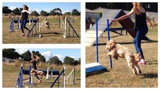Dog Agility - Cockapoo Training