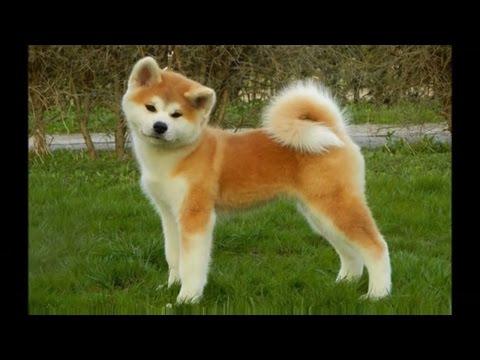 DOG BREEDS RASE LIST #A: AKITA INU DOG, AUSTRALIAN TERRIER, AFGHAN HOUND, AFFENPINSCHER   DISCOVER