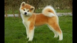 """CLASSIFICATION OF DOG BREEDS RASE (names with """"A""""): AKITA, AUSTRALI..."""