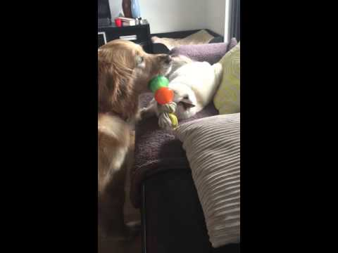 Golden retriever sharing toy with ragdoll cat
