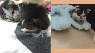 Kitten eating cat food and trying to pee pee in litter box for the first time